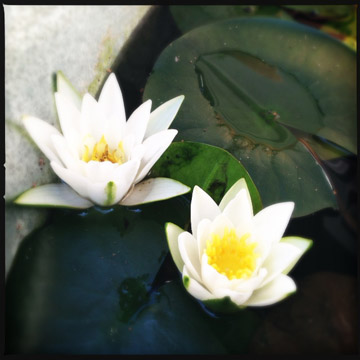 bluehousewaterlilies