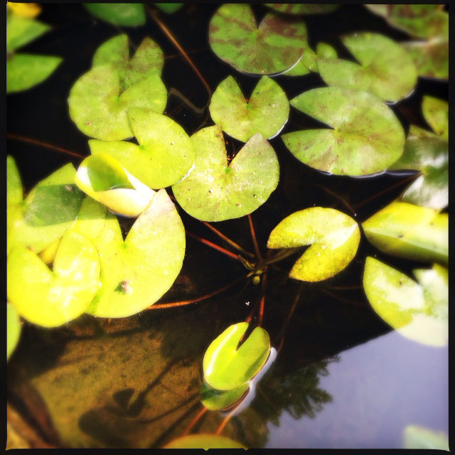 waterlilybuds