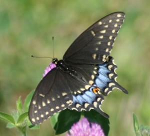 Female_Black_Swallowtail_Megan_McCarty08