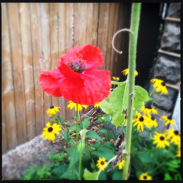 A poppy from the Blue House garden